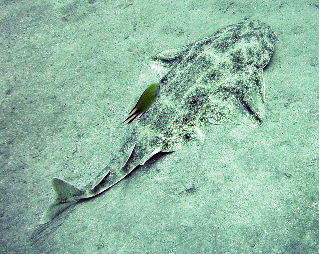 An angelshark. Credit  Dan Meineck/Flickr  (CC BY-ND 2.0)