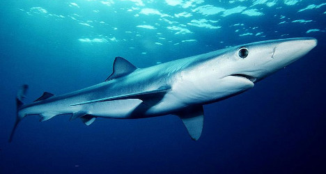 Blue shark off southern California. Credit  Mark Conlin/NMFS  (Public Domain)