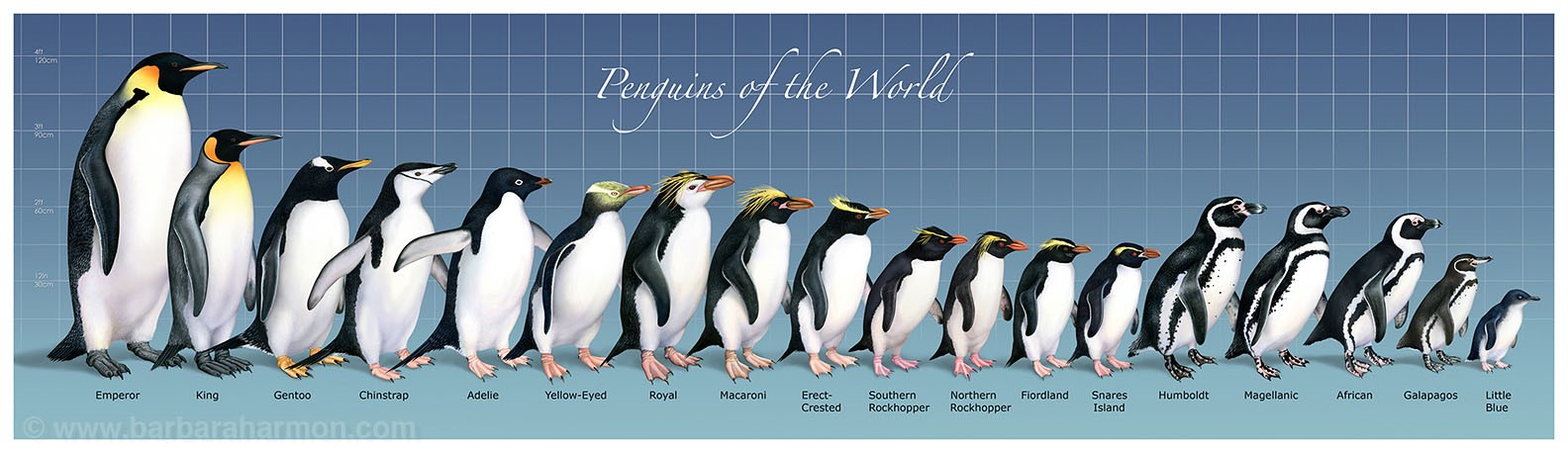 Galápagos penguins are the second smallest penguin in the world. This image (which you can click on to enlarge) was created by  Barbara Harmon , a biological and medical illustrator. Barbara has given her permission for this piece to appear here.
