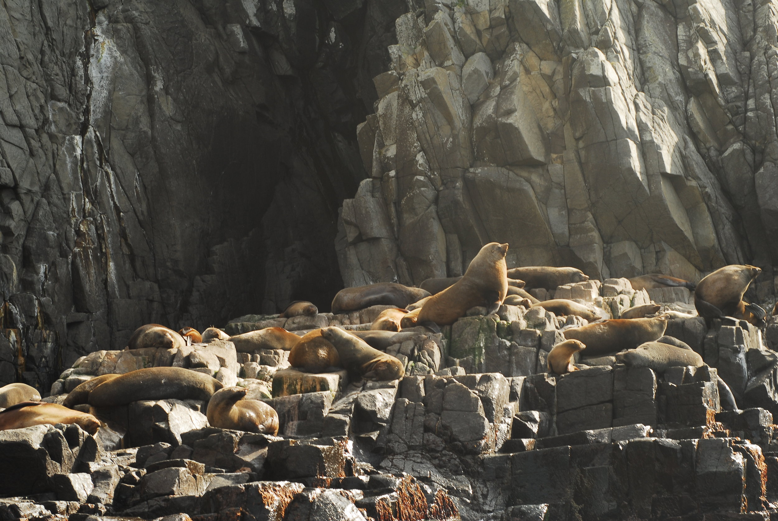 Brown fur seals near Bruny Island in Tasmania, Australia. Credit Samantha Andrews/Ocean Oculus