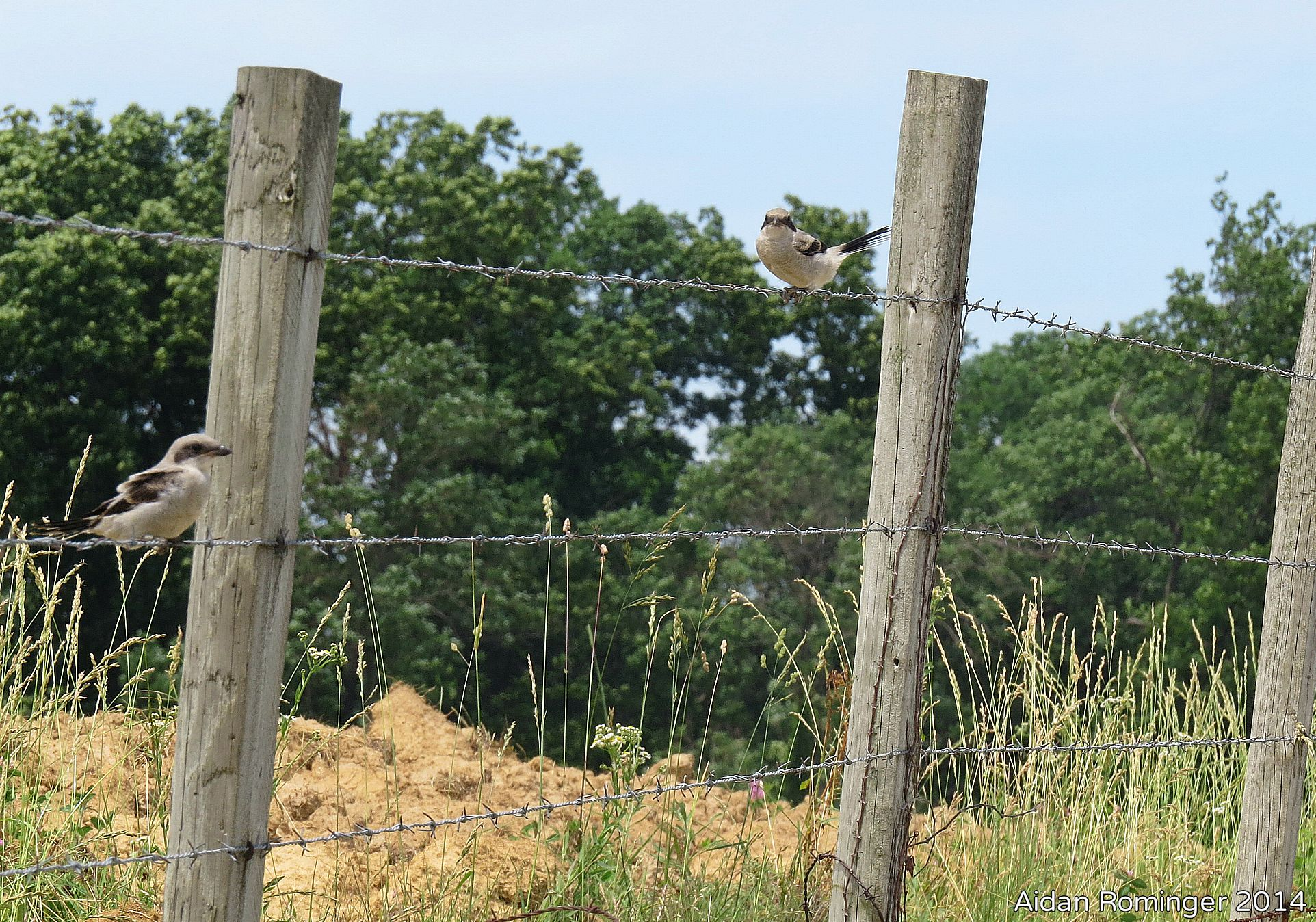 Barbed wire fencing creates many potential impaling sites that can be used by shrikes, like the fledglings pictured here