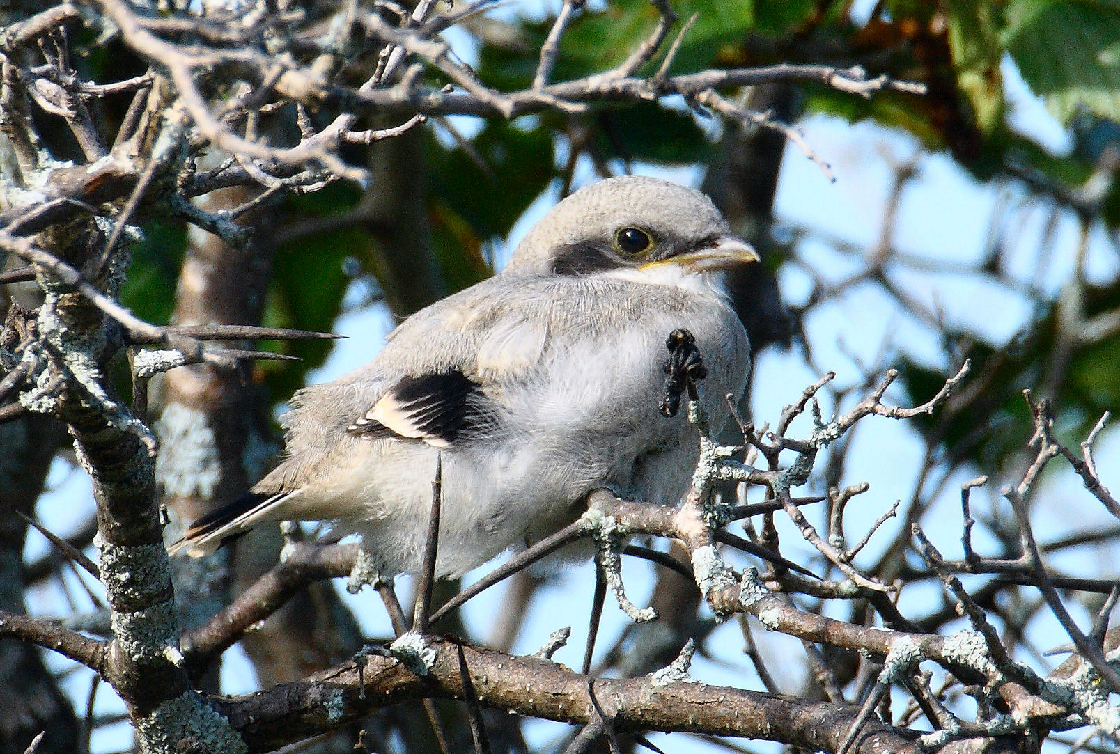 A young fledgling, approximately one week out of the nest (Photo Credit: Larry Kirtley)