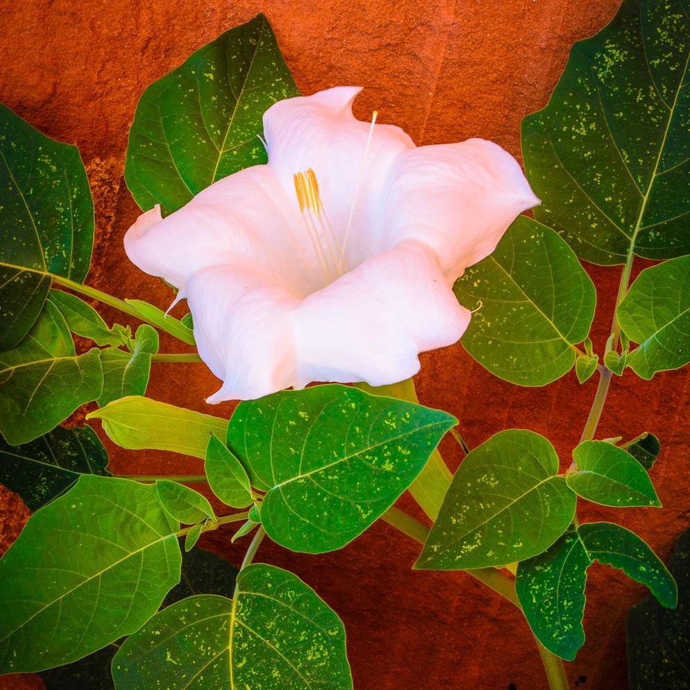 Canyon Lily   by Harry H. Hitzeman Jr.   near Lake Powell, AZ/UT