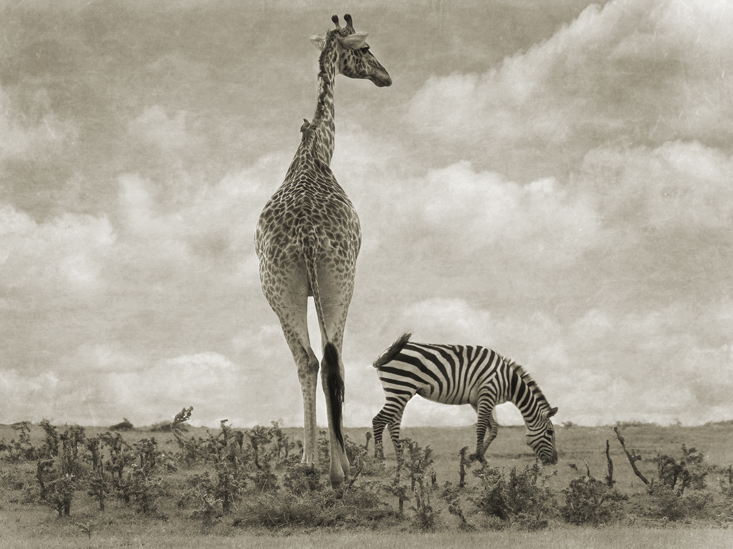 GIRAFFE WITH ZEBRA.jpg