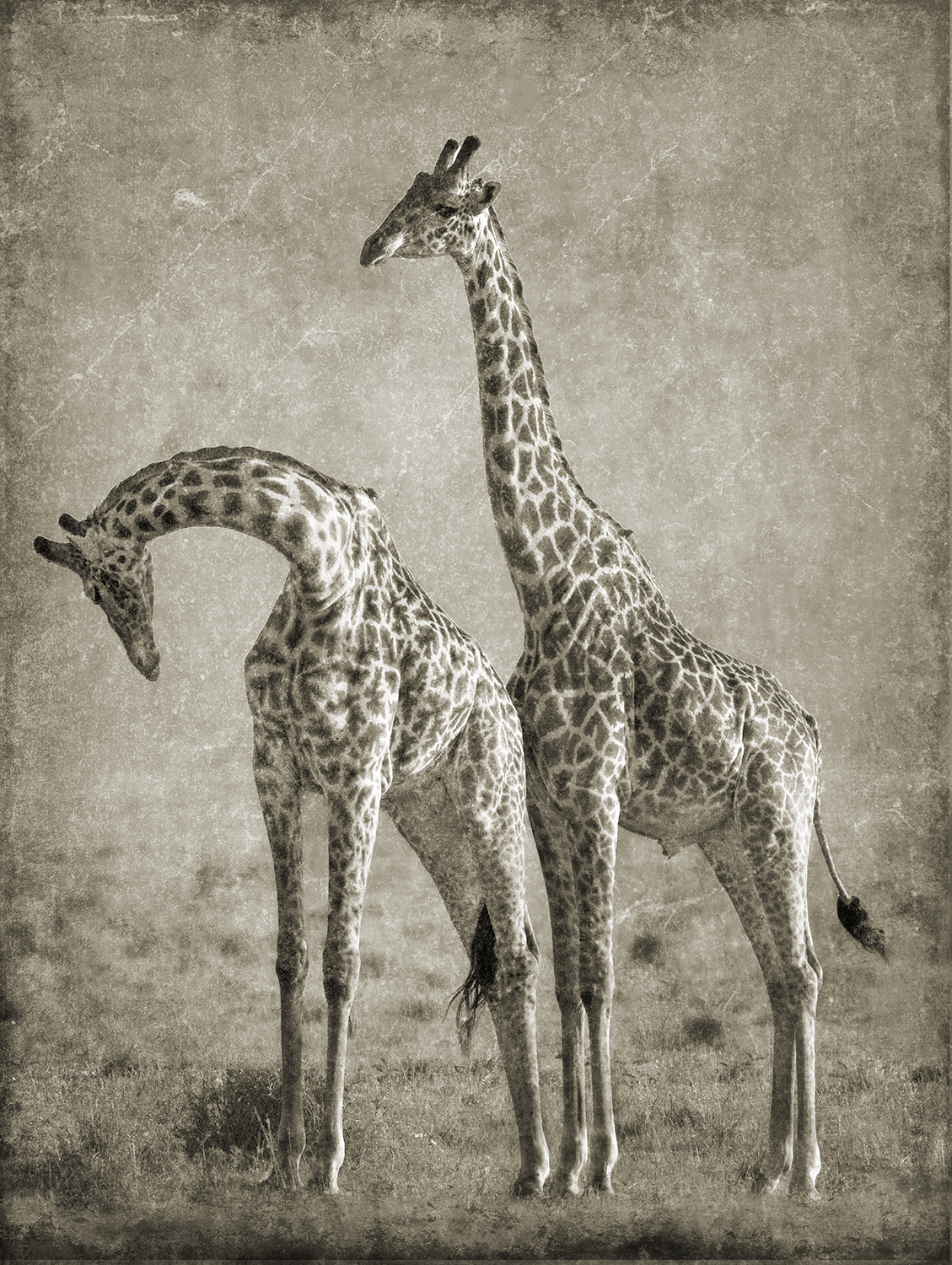 Courting Giraffes copy.jpg