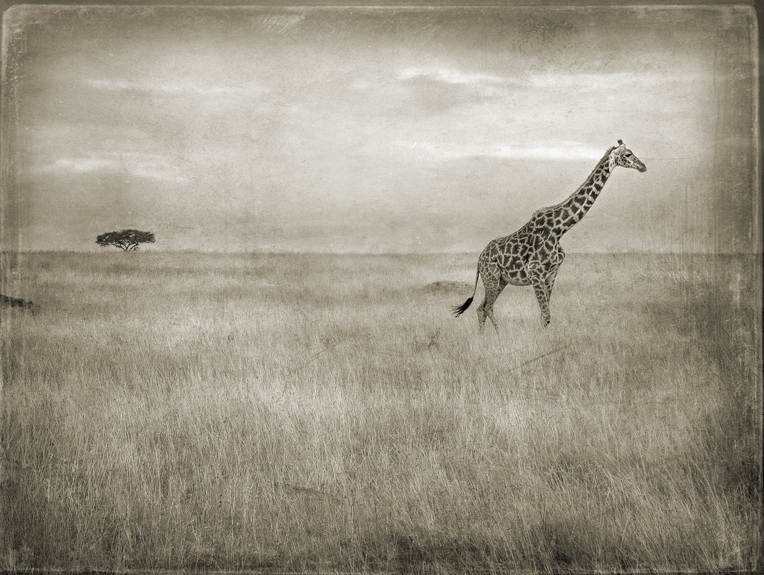 Lone Giraffe Lone Tree copy.jpg