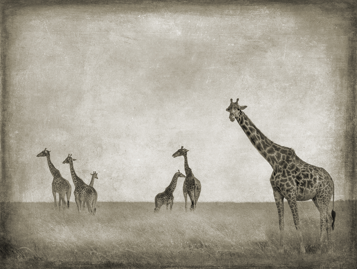 Six Giraffes copy.jpg