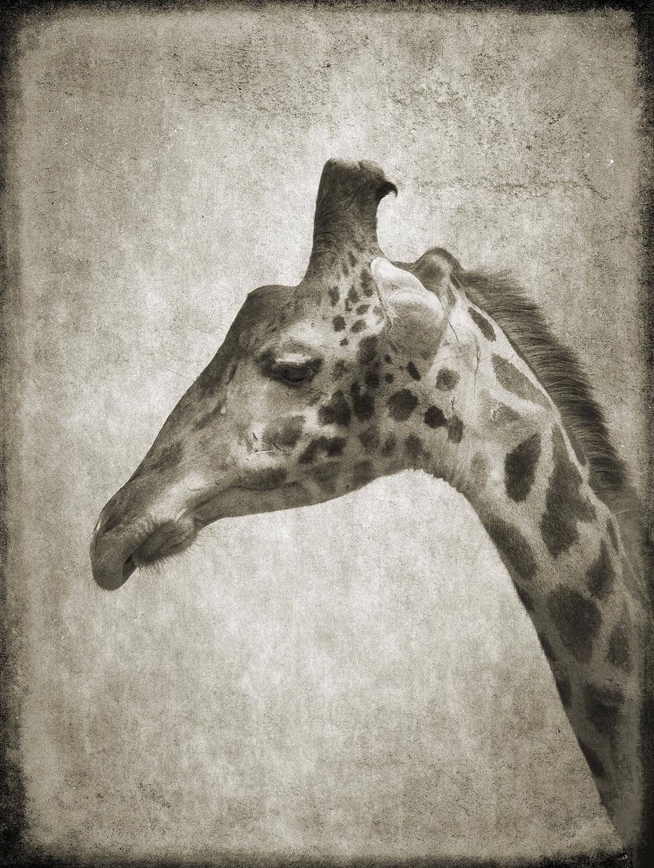PEC_Giraffe Portrait_0328 copy.jpg