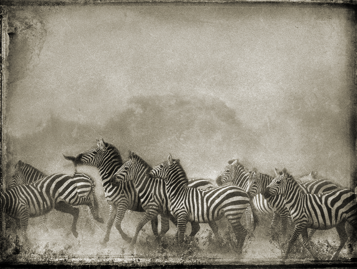 Zebra Herd copy.jpg