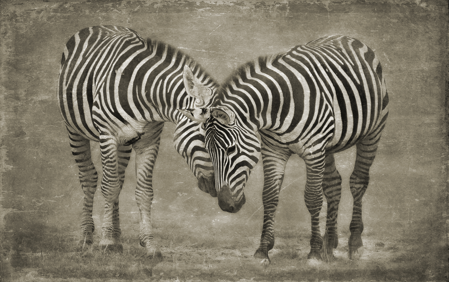 ZEBRAS HEAD TO HEAD copy.jpg