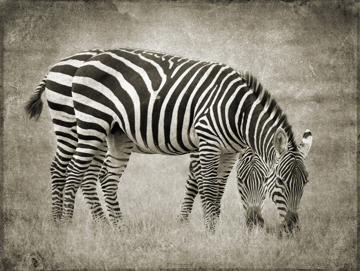 PEC_2018_Two Zebra_5288 copy.jpg