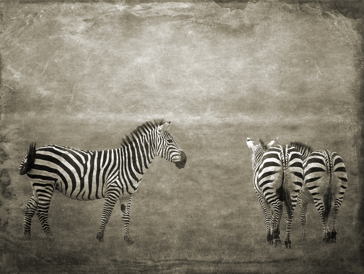 One Plus Two Zebras copy.jpg