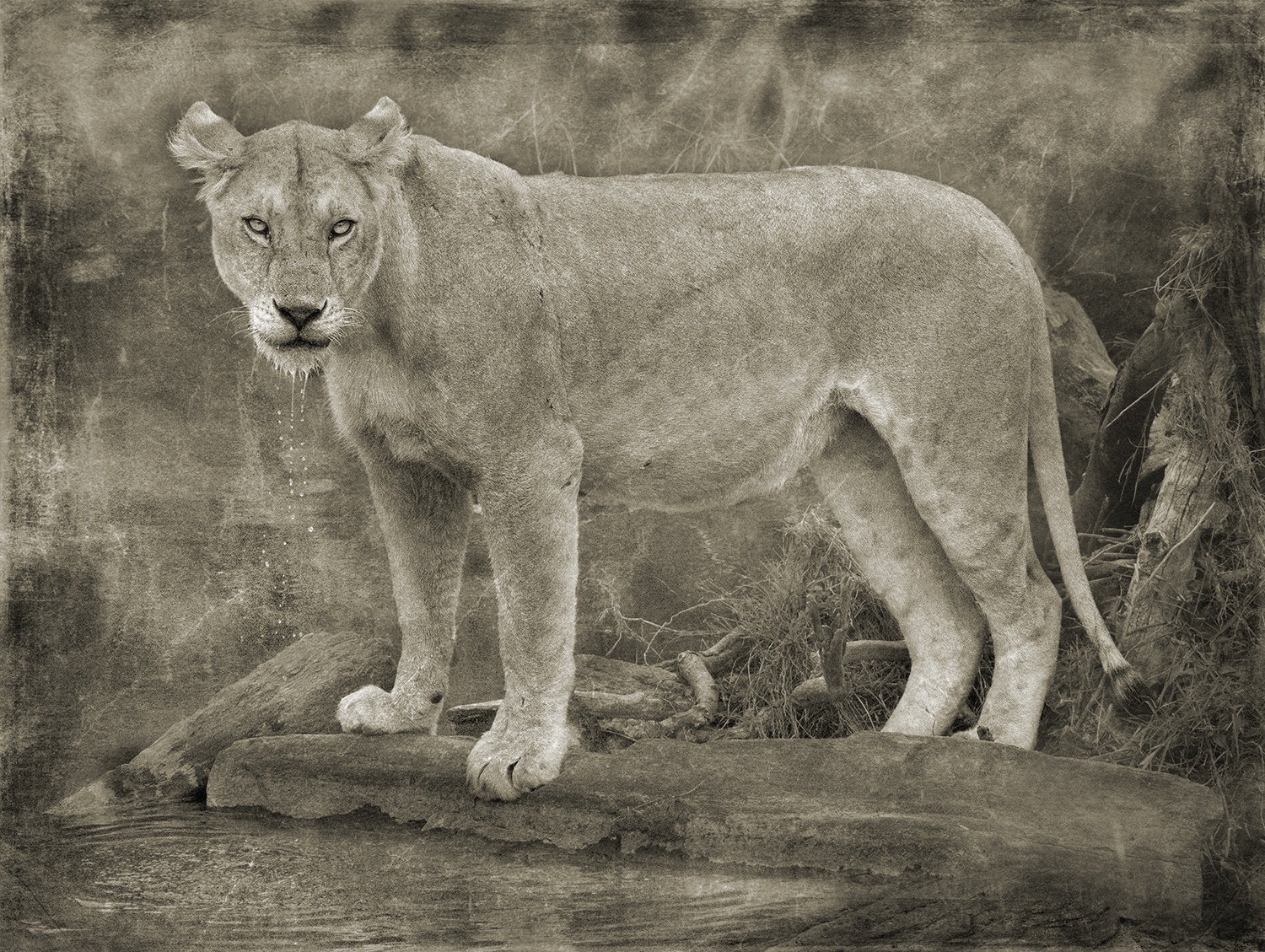 Lioness with Dripping Water copy.jpg
