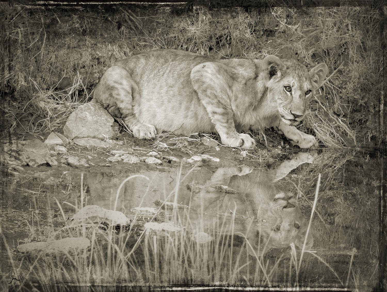 PEC_Lion Cub By Water_4266 copy.jpg