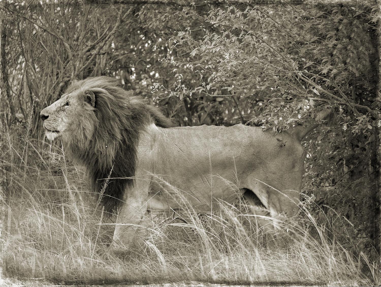 PEC_Lion In Trees_9653 copy.jpg