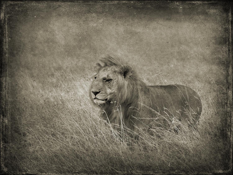 PEC_Wounded Lion_1546 copy.jpg