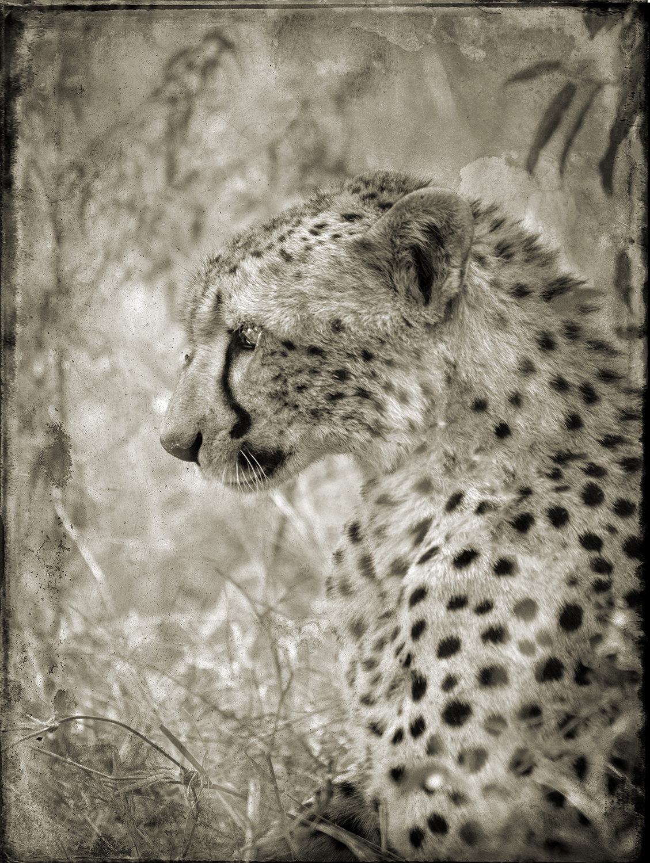 Cheetah Head in Profile copy.jpg