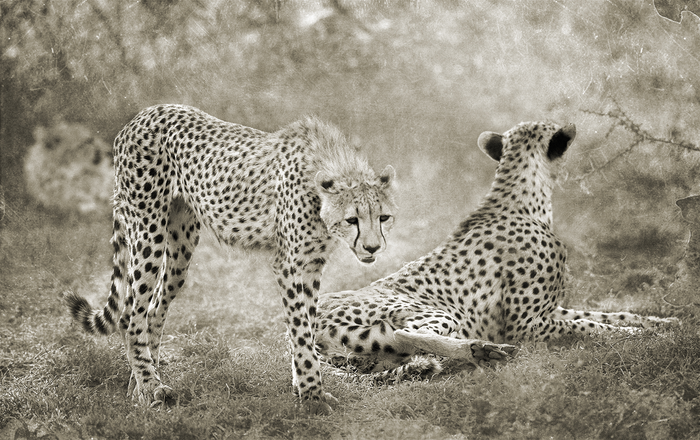 Cheetahs Under Trees copy.jpg