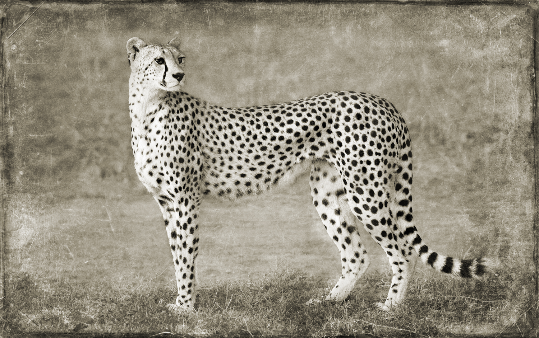 Cheetah Portrait alt copy.jpg