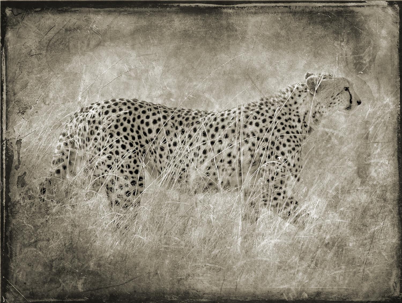 Cheetah Walking in Grass copy.jpg