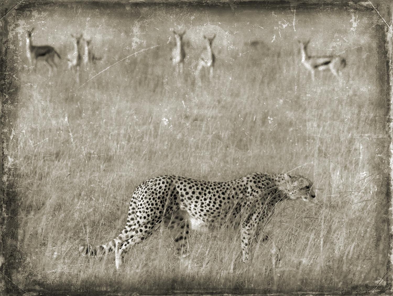 PEC_Cheeta Stalking Gazelle_4469 copy.jpg