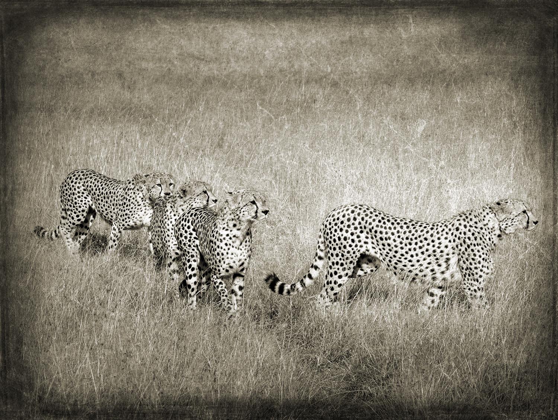 PEC_Four Cheetah_1120 copy.jpg