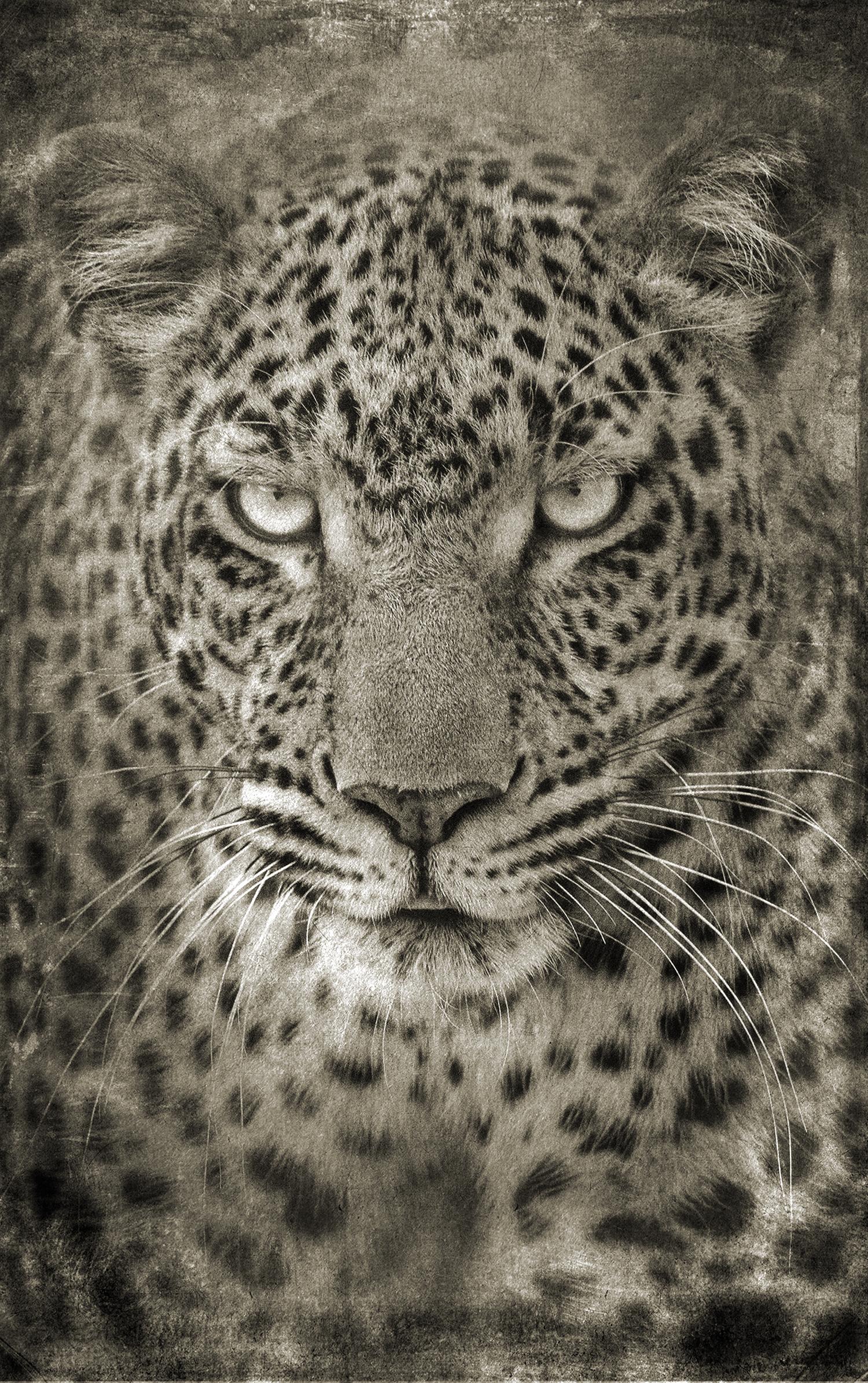 Leopard Portrait Head 2 copy.jpg