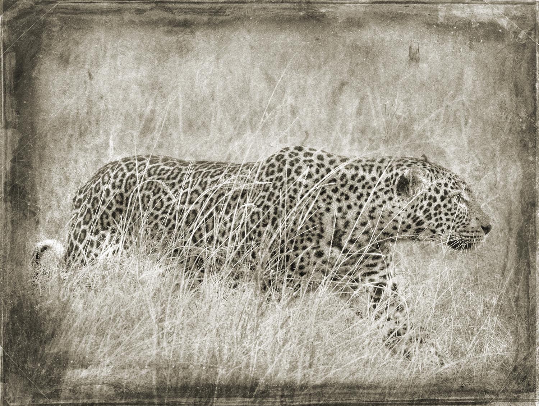 Leopard Stalking in Tall Grass copy.jpg