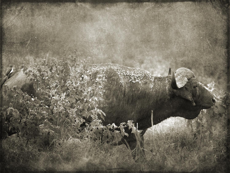 Buffalo with Bird on Rump copy.jpg