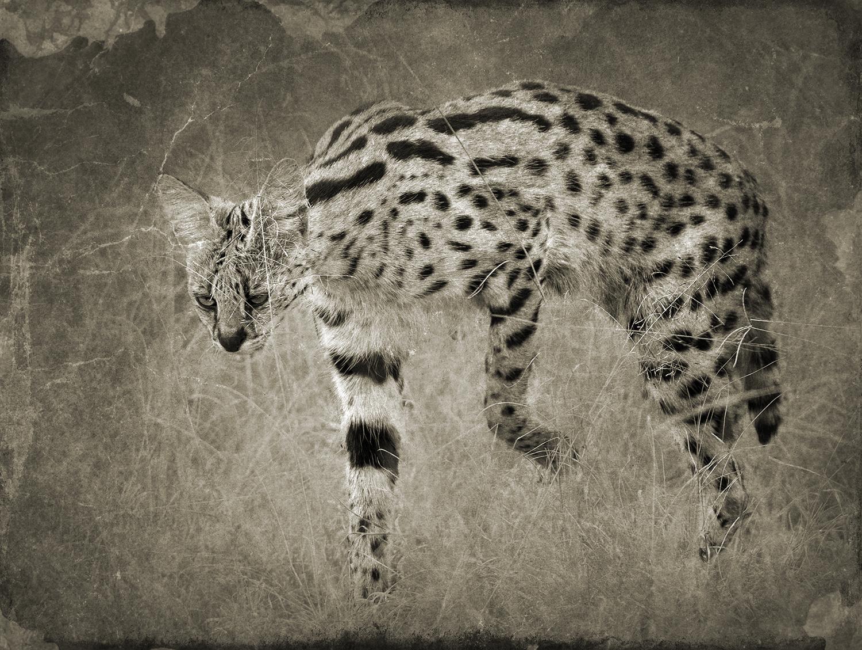 PEC_Cat Stalking_0398 copy.jpg