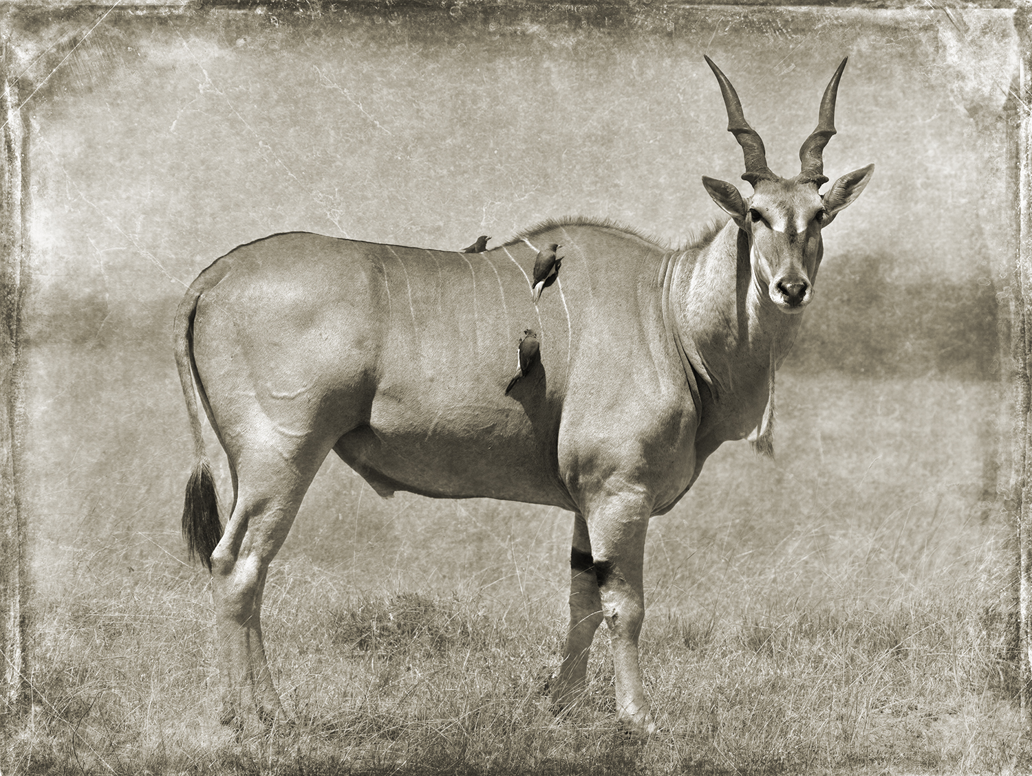 Eland with Birds copy.jpg