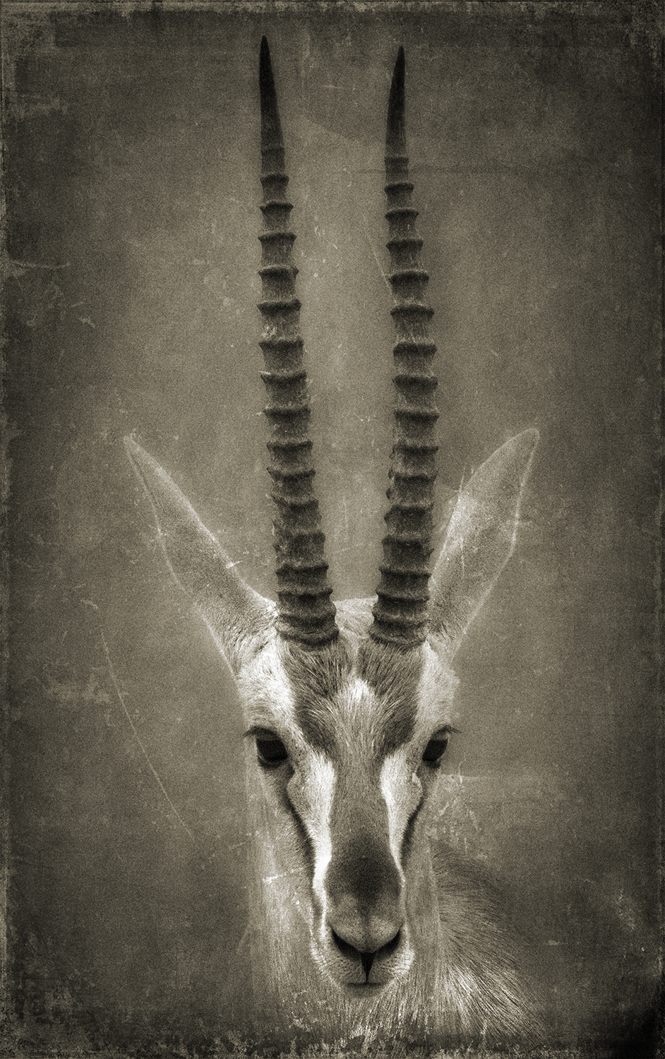Gazelle Head copy.jpg