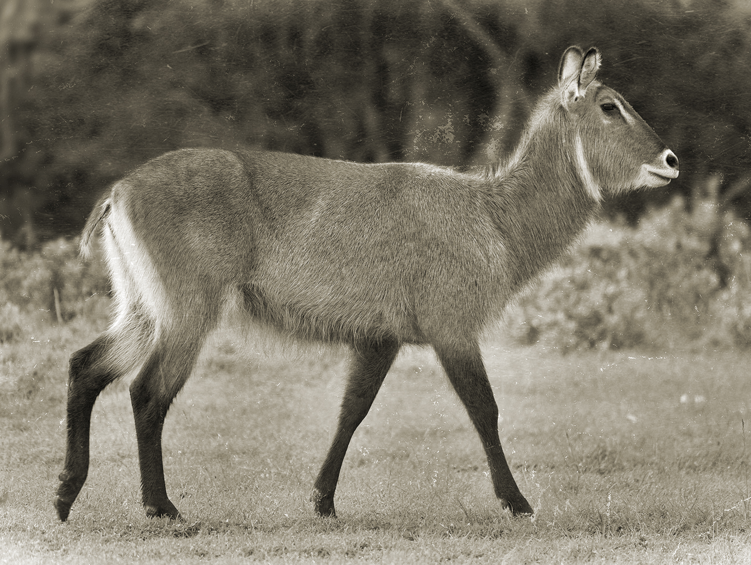 FEMALE WATERBUCK.jpg