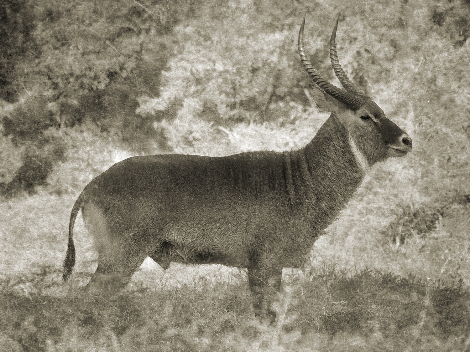 MALE WATERBUCK IN GRASS.jpg