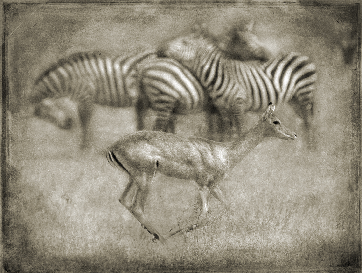 Impala Dash with Zebras copy.jpg