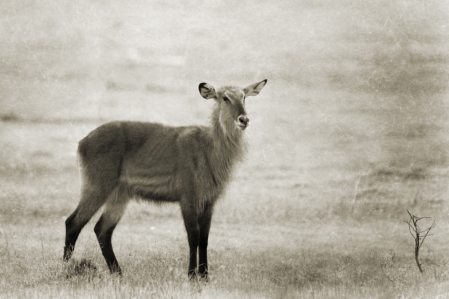YOUNG WATERBUCK.jpg