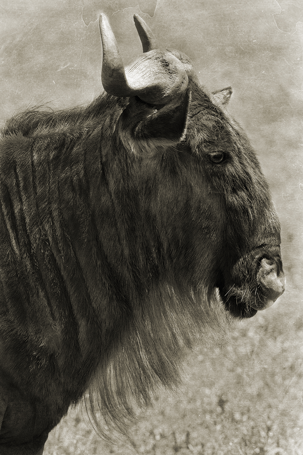 WILDEBEEST PROFILE.jpg
