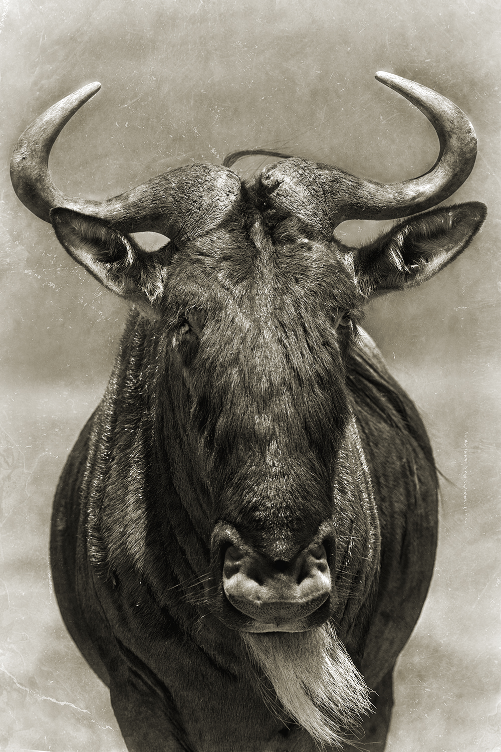WILDEBEEST HEAD.jpg