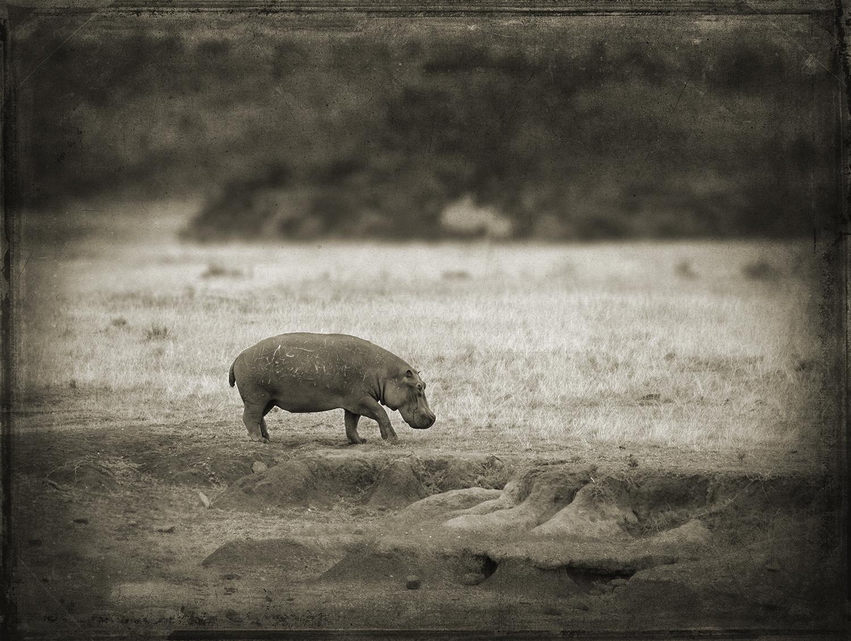 PEC_Hippo on Land_0286 copy.jpg