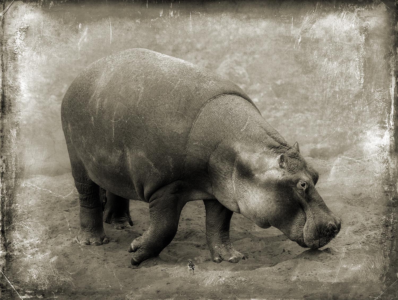 Smiling Hippo with Bird copy.jpg