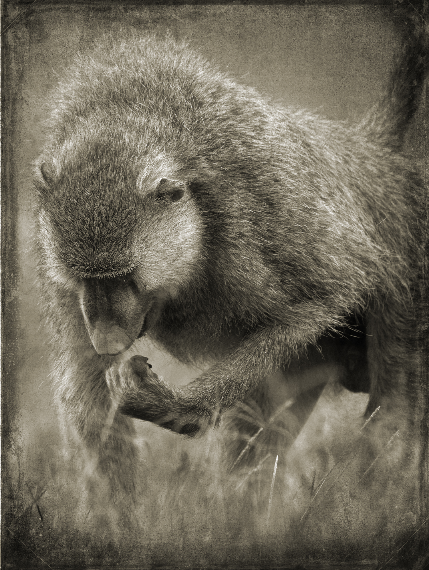 Baboon Eating Grass copy.jpg