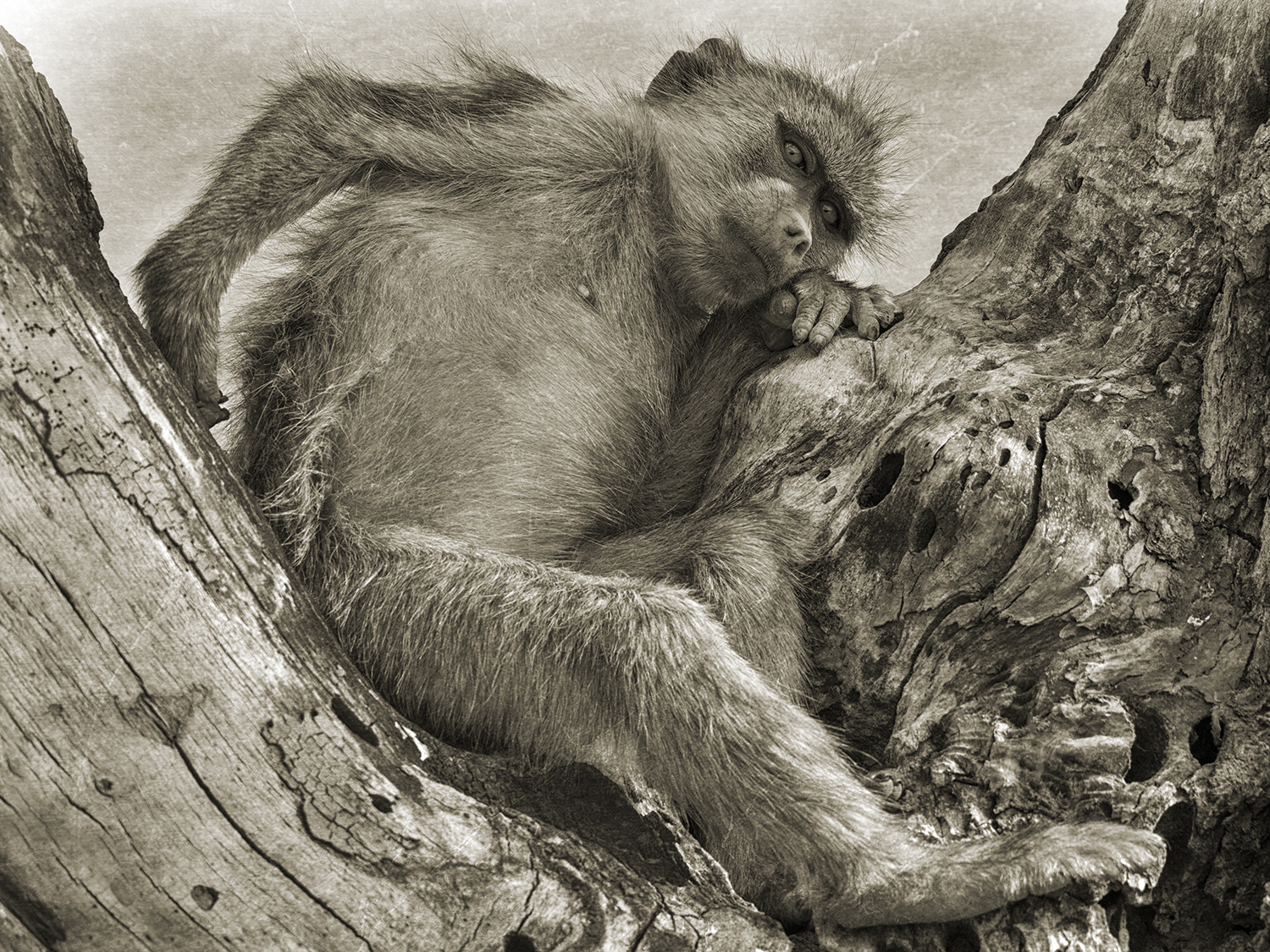BABOON IN CROOK OF A TREE.jpg