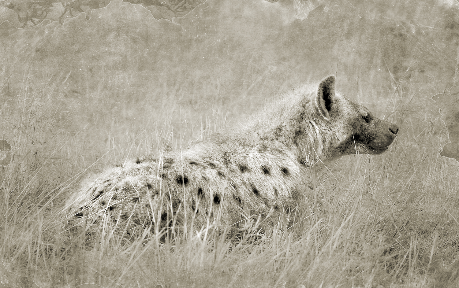 HYENA IN GRASS.jpg