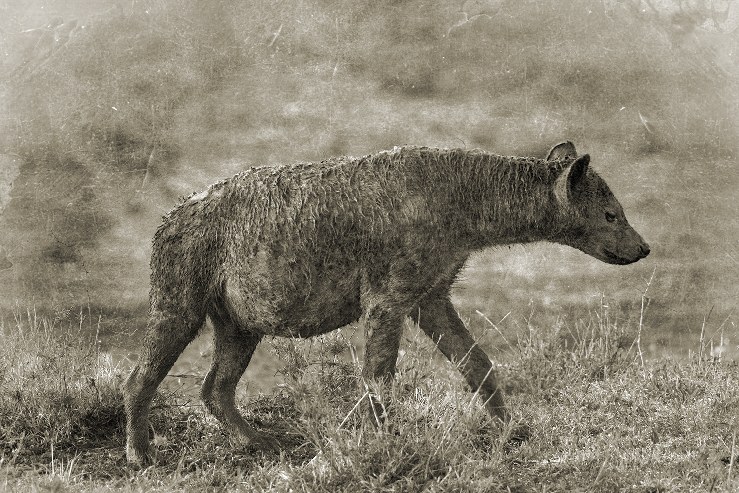 MUD COVERED HYENA.jpg