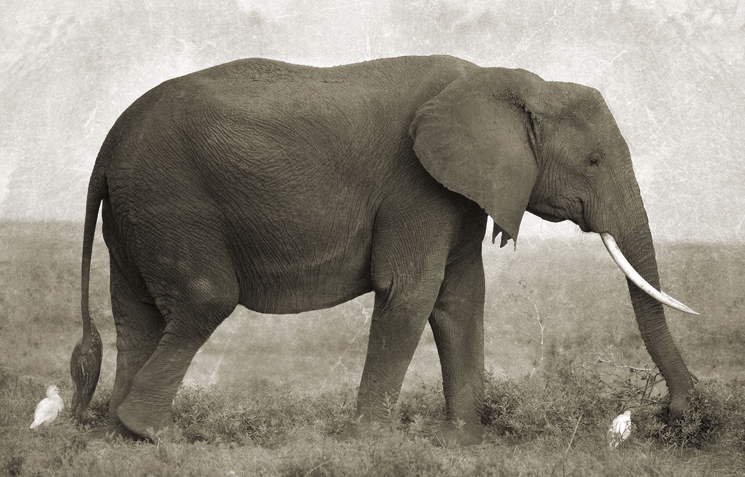ELEPHANT IN PROFILE.jpg