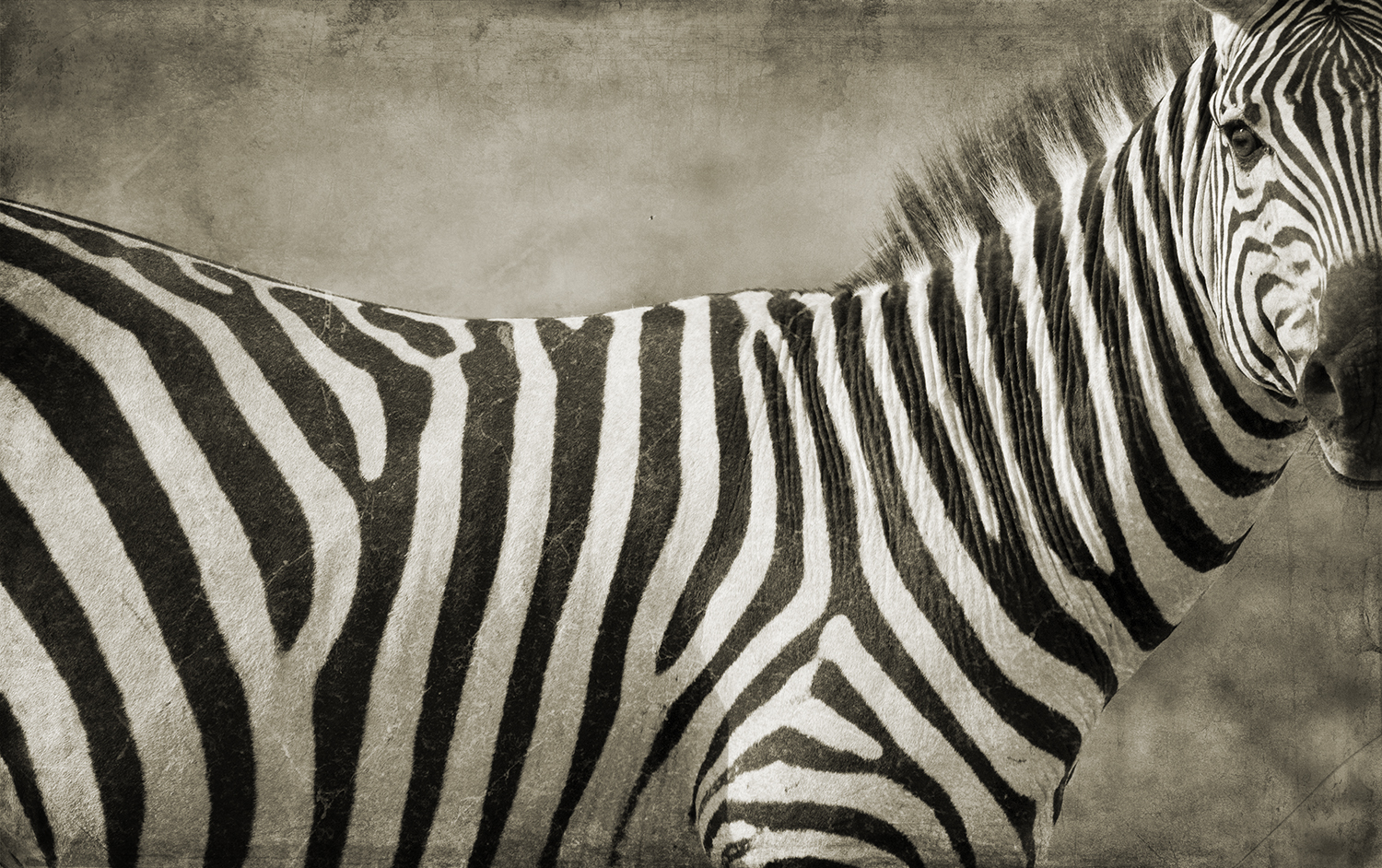 Zebra Portrait Close.jpg
