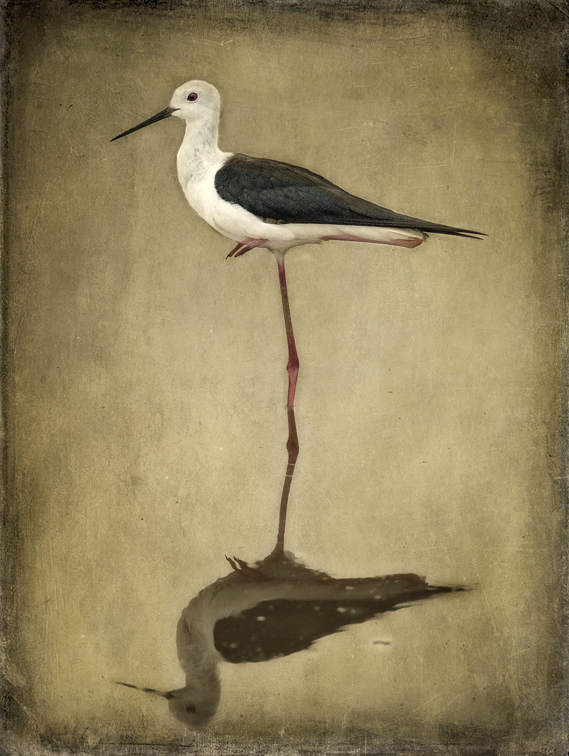 Black Winged Stilt One Leg copy.jpg
