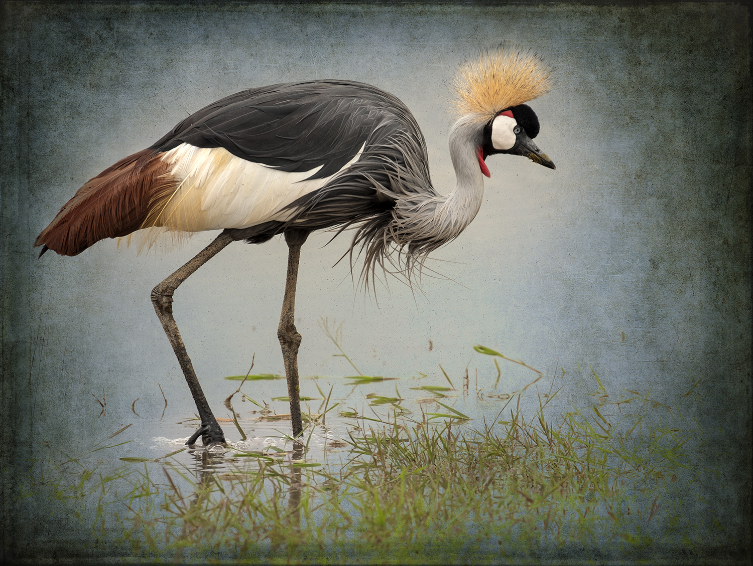 PEC_Grey Crowned Crane in Water_5119 copy.jpg