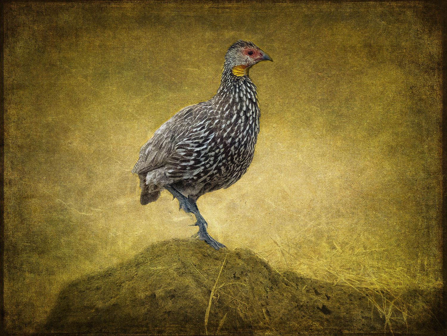 Red-Necked Spurfowl copy.jpg