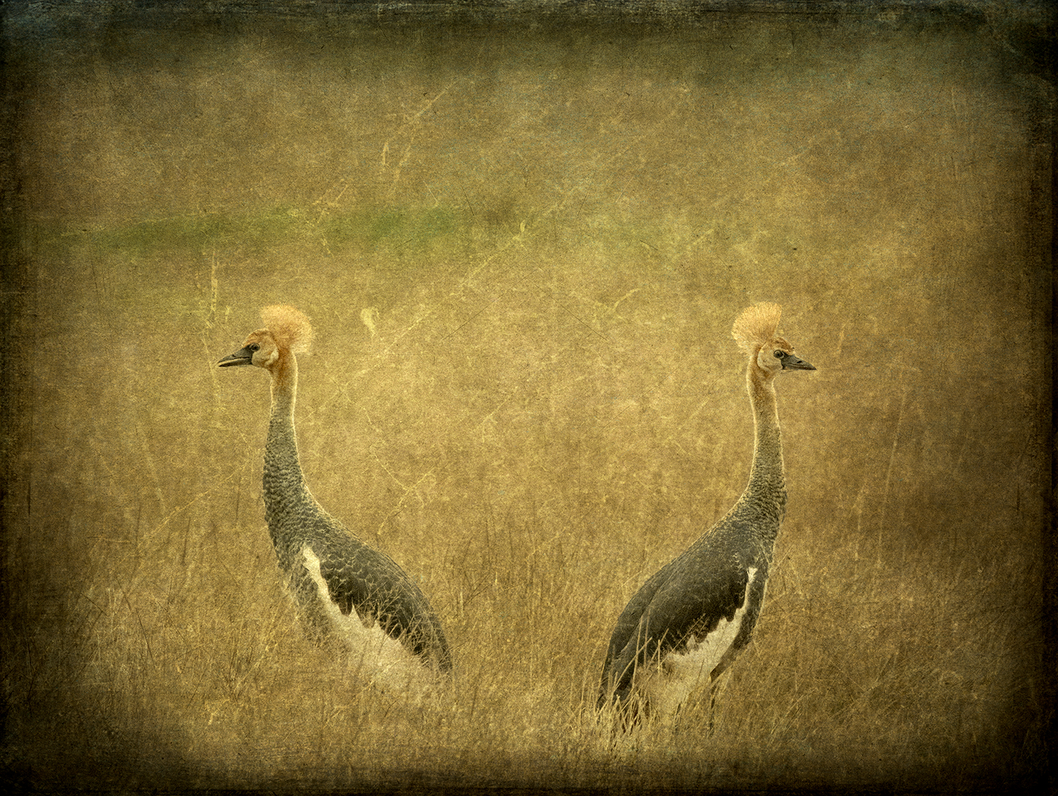 Female Pair Grey Crowned Cranes copy.jpg